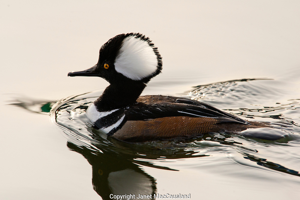 A Male Hooded Merganser (Lophodytes cucullatus) Dives in an ice-free winter harbor. His head crest is back lit by a setting sun.