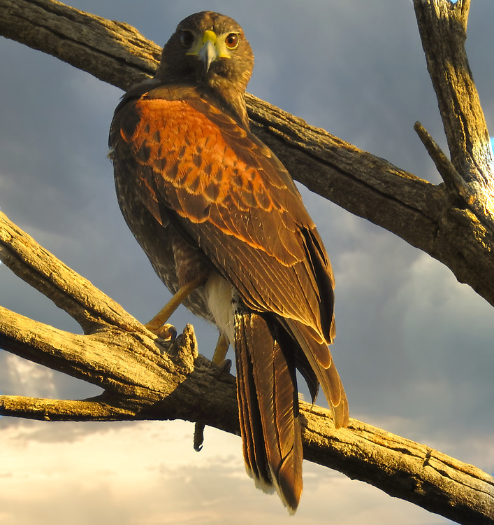 A harris hawk stare back at me from a tree
