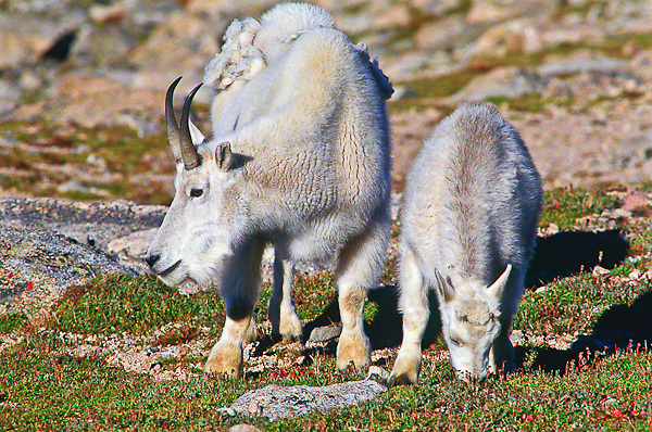 Mountain goats (Oreamnos americanus) A nanny and her kid grazing on the alpine tundra.  Mount Evans, Colorado.