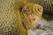 Christmas Tree Worm (Spirobranchus giganteus) on Star Coral (Montastraea cavernosa)<br /> BONAIRE, Netherlands Antilles, Caribbean<br /> HABITAT & DISTRIBUTION: Shallow & mid-range coral reefs, walls and rocky areas. <br /> Florida, Bahamas & Caribbean.Great