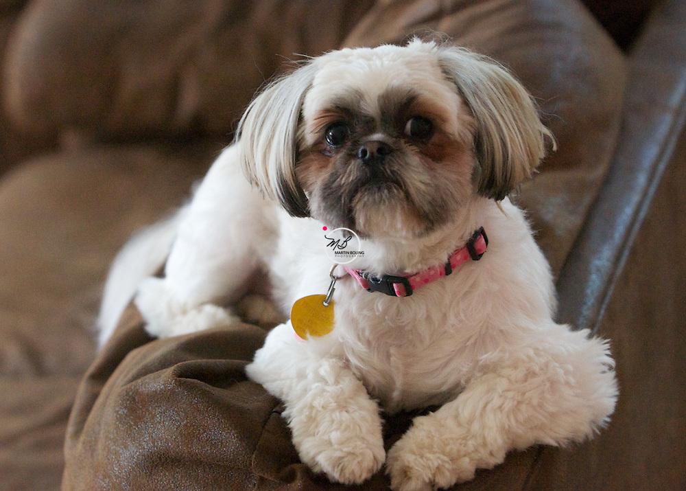Cookie the Shitzu Shih Tzu Dog
