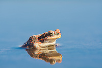 A red-spotted toad is reflected in a rare pool of water - a leftover from a massive storm that passed through the Moab Desert the night before. The brilliant blue sky reflected beautifully from this angle.