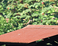 Rufous-naped Wren (Campylorhynchus rufinucha). Image taken with a Nikon D3s camera and 70-300 mm VR lens.