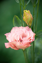 Lisianthus grandiflorum Arena F1 III Apricot syn. Eustoma - Japanese Rose