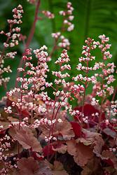 Heuchera 'Pink Pearls'