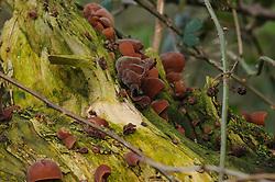 Judasoor, Auricularia auricula-judae