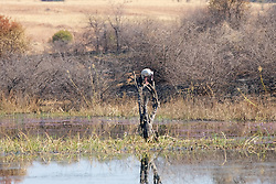 African Spoonbill