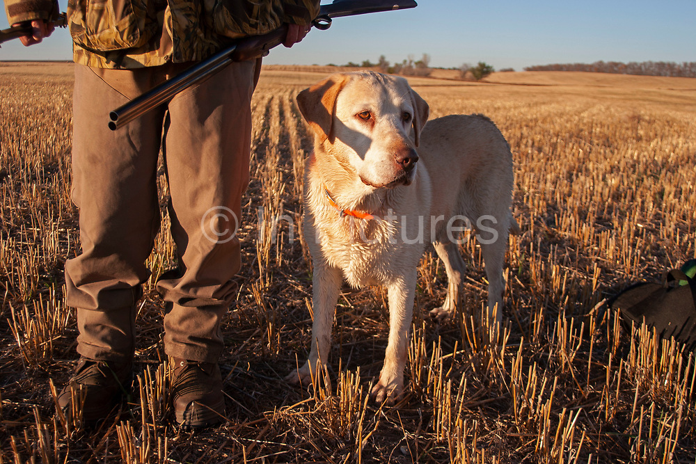 Experienced hunter John Davidson, duck hunting with his faithful labrador retriever Chester near Minot, North Dakota, United States. John has been shooting for most of his life and puts considerable efforts into his hunting, efforts which reward him with wild game meats. In this part of North Dakota, glacially formed flat land is filled with pock-marked shallow holes, which fill with eater making ideal sloughs for ducks such as Mallard, Widgeon and the more prized Canvas Back.