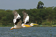 Two Great White Pelicans (Pelecanus onocrotalus) in flight, hulla valley, Israel