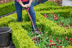 Digging up tulips after they have finished flowering to make way for summer bedding.