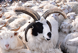 February 5, 2018 - Shenyang, Shenyang, China - Shenyang,CHINA-5th February 2018: A goat with four horns can be seen in Shenyang, northeast China's Liaoning Province. (Credit Image: © SIPA Asia via ZUMA Wire)