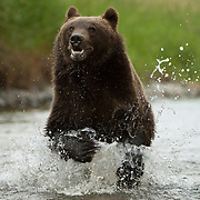 Grizzly bear (Ursus arctos horribilis) in Montana. Captive Animal