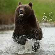 Grizzly bear (Ursus arctos horribilis) in Montana. Captive Animal