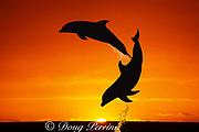 bottlenose dolphins, Tursiops truncatus, jumping in front of sunset, Bahamas ( Western Atlantic Ocean ) dc)