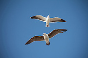 Flying Seagulls Over The Seal Beach Pier