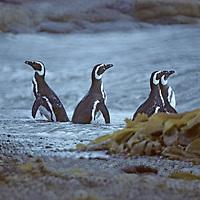 PENGUINS, Magellenic. Peninsula Brunswick, Patagonia, Chile.