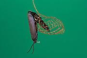 Urodus Moth emerging from Cocoon (Urodus sp.)<br /> Yasuni National Park, Amazon Rainforest<br /> ECUADOR. South America<br /> HABITAT & RANGE: South, Central America and southern USA