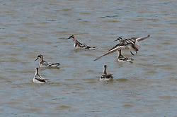 August 15, 2017 - Qingdao, Qingdao, China - Qingdao, CHINA-August 15 2017: (EDITORIAL USE ONLY. CHINA OUT) Red-necked phalaropes migrate to Jiaozhou Bay Wetland in Qingdao, east China's Shandong Province, August 15th, 2017. (Credit Image: © SIPA Asia via ZUMA Wire)