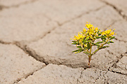 A tiny plant sprouts and blossoms in the badlands of Southern Utah.