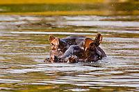 Hippopotamuses (hippos) in a lake, Camp Jabulani, Kapama Private Game Reserve, near Kruger National Park, South Africa