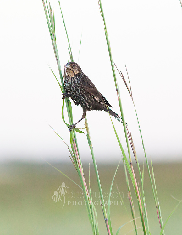 A female Red–winged Blackbird grasps the stems of the big bluestem grass, a native tall grass found in prairies.<br /> <br /> Red–winged Blackbird (Agelaius phoeniceus)