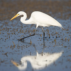 A great egret, Ardea alba, hunts in a mudflat on Honeymoon Island in Florida.