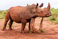 Young white rhinocerous rubs its neck on a stump, [Secret Location] David A. Ponton