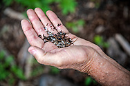 Ronnie Hamrick , former Formosa worker holds a few of the countless nurdles that litter the banks of Cox Creek near Formosa's Point Comfort facility.