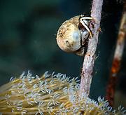 Hermit crab, Papua New Guinea