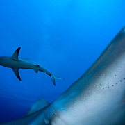 Caribbean reef sharks (Carcharhinus perezi) off Jardines de la Reina (Gardens of the Queen National Park), Cuba