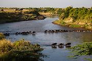 A herd of gnu or blue wildebeest (Connochaetes taurinus) cross the treacherous crocodile infested rivers of the Masai Mara during Kenya's great migration, Masai Mara, Kenya,