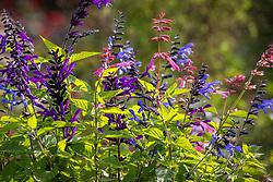 Salvia 'Kisses & Wishes' (Kernock), Salvia 'Amistad' and Salvia Rockin' Blue Suede Shoes