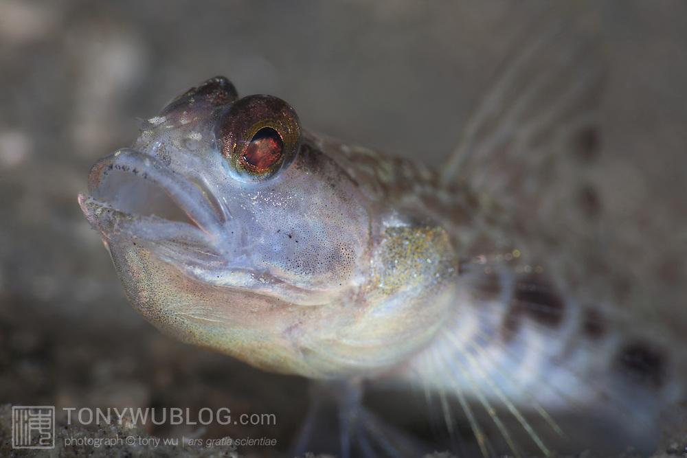 Vanderhorstia sp. goby with mouth open