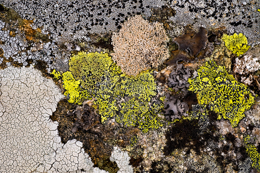 Diversity of lichens on rocks from Knaben, (Agder, south-western Norway).  Porpidia, Umbilicaria and Rhizocarpon are present together with other unidentified genera and species.