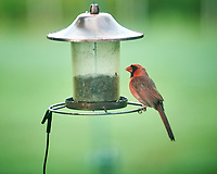 Northern Cardinal. Image taken with a NikonD850 camera and 200 mm f/2 VR lens