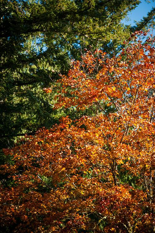 2017 OCTOBER 27 - Autumn forest scene near Snoqualmie Falls, WA, USA. By Richard Walker