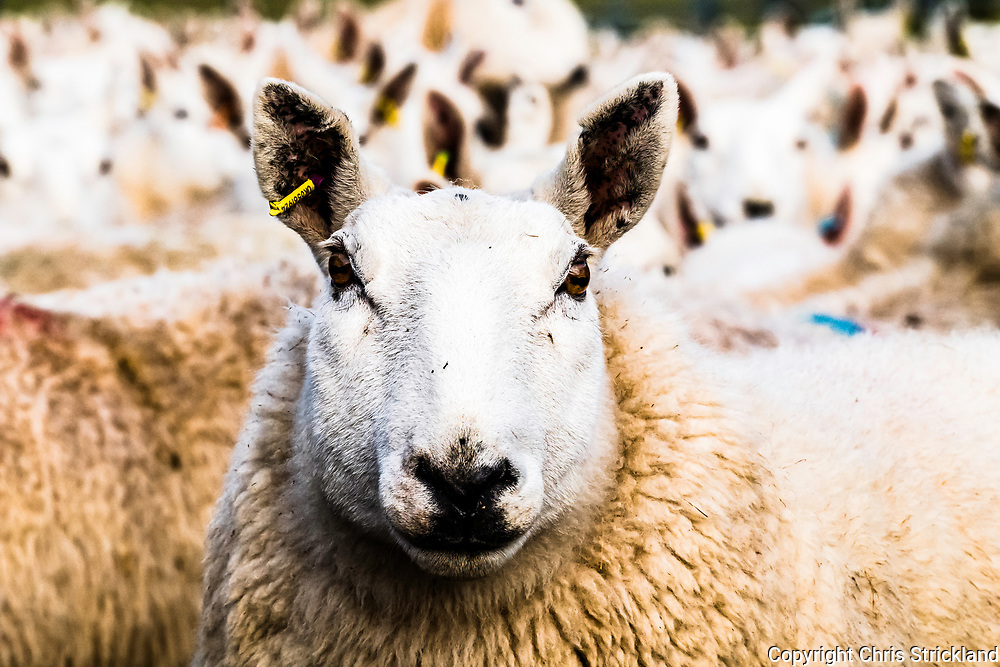 Swinside, Jedburgh, Scottish Borders, UK. 25th January 2018. Cheviot Ewes are gathered in a farm steading to scan for lamb numbers and dose against liver fluke.