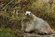 Hoary Marmot, Marmota calligata, gathering grass, closeup, summer, tundra, shrill whistle when alarmed, inhabits rocky alpine slopes; hibernates in winter, Denali National Park, Alaska, ©Craig Brandt, all rights reserved; brandt@mtaonline.net