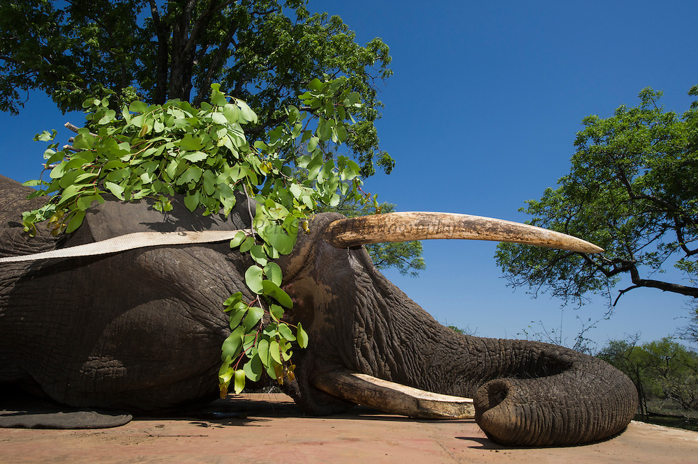 Tranquilized elephants on transporter truck<br /> & capture team<br /> (Loxodonta africana)<br /> Elephants darted from helicopter to be relocated.<br /> Zimbabwe