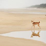 Dingo on 75-Mile Beach, Fraser Island, Australia.