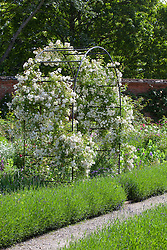 Rosa 'Snowdrift' growing on a metal arch in the rose garden at Mottisfont. Low lavender hedges