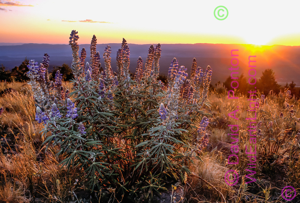 Blooming lupine on the top of Cerro Pelado with the setting sun, Jemez Mountains, New Mexico, © David A. Ponton