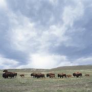 Bison (Bison bison) herd on the grasslands of Montana.