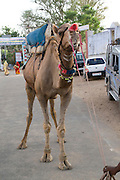 India, Rajasthan, Pushkar camel in the street
