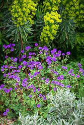 Geranium pyrenaicum 'Bill Wallis' - Mountain cranesbill - with Euphorbia characias subsp. wulfenii 'John Tomlinson'