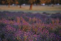 Holm oak (Quercus ilex rotundifolia) and French or Spanish lavender (Lavandula stoechas), Dehesa landscape, Monfrague National Park, Extremadura, Spain.