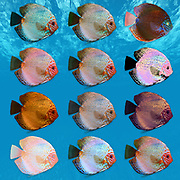 Digitally enhanced image of 12 color variations of Symphysodon, (colloquially known as discus) fresh water aquarium fish.