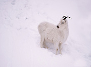 A ewe dall sheep on a snowy rock face.