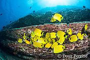 milletseed butterflyfish, Chaetodon miliaris, endemic Hawaiian species, and other fish, feeding on eggs of sergeant major damselfish under ledge, Lehua Rock, off Niihau, Hawaii, USA ( Central Pacific Ocean )