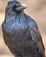 Common Raven (Corvus corax). Yellowstone National Park, Wyoming. Image taken with a Nikon D2xs camera and 200 mm f/2 VR  lens.